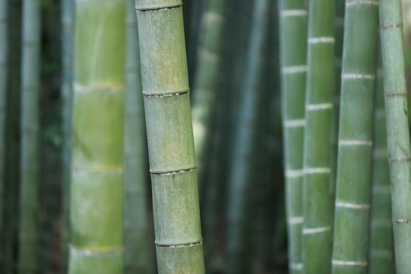 Close-up of green bamboo stalks